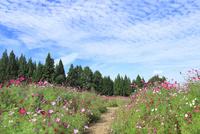 当間(あてま)高原 コスモスの花畑と道
