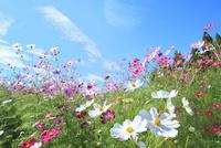 当間(あてま)高原 コスモスの花畑