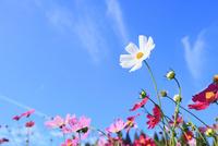 当間(あてま)高原 コスモスの花 11076022912| 写真素材・ストックフォト・画像・イラスト素材|アマナイメージズ