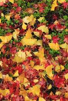 カエデとイチョウの散り紅葉