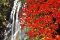 荒滝とカエデの紅葉に虹 11076023484  写真素材・ストックフォト・画像・イラスト素材 アマナイメージズ
