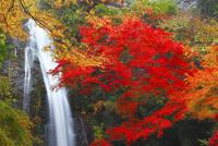 箕面大滝とカエデの紅葉