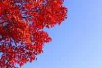 カエデの紅葉と青空 11076023505  写真素材・ストックフォト・画像・イラスト素材 アマナイメージズ