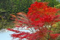 祖谷渓谷の紅葉 11076023584| 写真素材・ストックフォト・画像・イラスト素材|アマナイメージズ