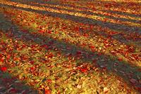 木陰と散り紅葉 11076023652  写真素材・ストックフォト・画像・イラスト素材 アマナイメージズ