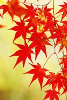カエデの紅葉 11076023663  写真素材・ストックフォト・画像・イラスト素材 アマナイメージズ