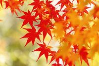 カエデの紅葉 11076023664  写真素材・ストックフォト・画像・イラスト素材 アマナイメージズ
