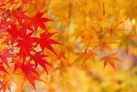 カエデの紅葉 11076023665  写真素材・ストックフォト・画像・イラスト素材 アマナイメージズ