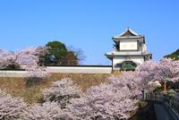 金沢城・石川門のサクラ 11076023960| 写真素材・ストックフォト・画像・イラスト素材|アマナイメージズ