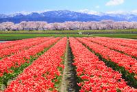 チューリップ花畑・桜並木と残雪の立山連峰 11076024022| 写真素材・ストックフォト・画像・イラスト素材|アマナイメージズ
