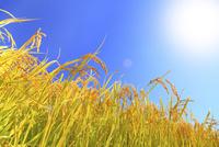 秋の稲穂と空に太陽