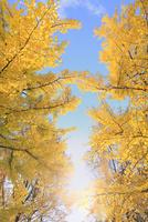 イチョウの紅葉と青空に太陽