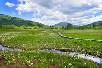 尾瀬ヶ原 ミズバショウの湿原と流れに木道