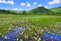 尾瀬ヶ原 ミズバショウの湿原