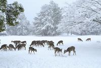 降雪の奈良公園 シカの群れ