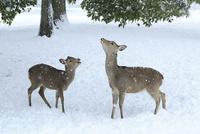 降雪の奈良公園 シカの親子