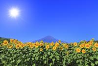 花の都公園のヒマワリと富士山 太陽と光芒 11076025150| 写真素材・ストックフォト・画像・イラスト素材|アマナイメージズ