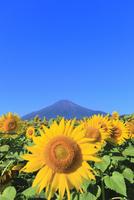 花の都公園のヒマワリと富士山 11076025156| 写真素材・ストックフォト・画像・イラスト素材|アマナイメージズ