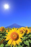 花の都公園のヒマワリと富士山に太陽 11076025157| 写真素材・ストックフォト・画像・イラスト素材|アマナイメージズ