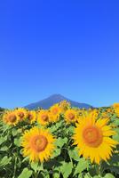花の都公園のヒマワリと富士山 11076025160| 写真素材・ストックフォト・画像・イラスト素材|アマナイメージズ