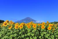 花の都公園のヒマワリと富士山 11076025210| 写真素材・ストックフォト・画像・イラスト素材|アマナイメージズ