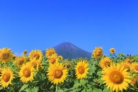 花の都公園のヒマワリと富士山 11076025214| 写真素材・ストックフォト・画像・イラスト素材|アマナイメージズ