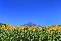 花の都公園のヒマワリと富士山 11076025215| 写真素材・ストックフォト・画像・イラスト素材|アマナイメージズ