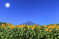 花の都公園のヒマワリと富士山に太陽 11076025216| 写真素材・ストックフォト・画像・イラスト素材|アマナイメージズ