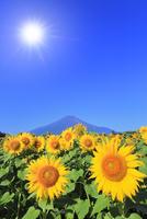 花の都公園のヒマワリと富士山 太陽と光芒 11076025217| 写真素材・ストックフォト・画像・イラスト素材|アマナイメージズ
