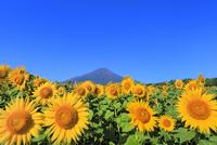 花の都公園のヒマワリと富士山