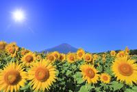 花の都公園のヒマワリと富士山 太陽と光芒 11076025221| 写真素材・ストックフォト・画像・イラスト素材|アマナイメージズ