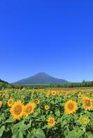 花の都公園のヒマワリと富士山 11076025224| 写真素材・ストックフォト・画像・イラスト素材|アマナイメージズ