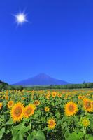 花の都公園のヒマワリと富士山に太陽 11076025226| 写真素材・ストックフォト・画像・イラスト素材|アマナイメージズ