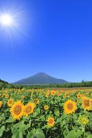 花の都公園のヒマワリと富士山 太陽と光芒 11076025227| 写真素材・ストックフォト・画像・イラスト素材|アマナイメージズ