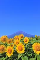 花の都公園のヒマワリと富士山 11076025228| 写真素材・ストックフォト・画像・イラスト素材|アマナイメージズ
