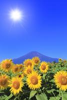 花の都公園のヒマワリと富士山 太陽と光芒 11076025229| 写真素材・ストックフォト・画像・イラスト素材|アマナイメージズ