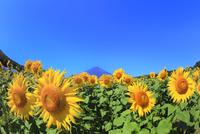 花の都公園のヒマワリと富士山 11076025232| 写真素材・ストックフォト・画像・イラスト素材|アマナイメージズ