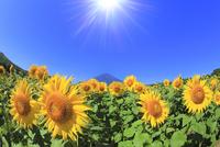 花の都公園のヒマワリと富士山に太陽 11076025233| 写真素材・ストックフォト・画像・イラスト素材|アマナイメージズ