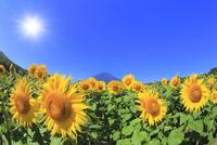 花の都公園のヒマワリと富士山 太陽と光芒 11076025235| 写真素材・ストックフォト・画像・イラスト素材|アマナイメージズ
