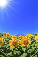 花の都公園のヒマワリと富士山 太陽と光芒 11076025237| 写真素材・ストックフォト・画像・イラスト素材|アマナイメージズ