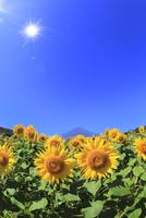 花の都公園のヒマワリと富士山に太陽 11076025239| 写真素材・ストックフォト・画像・イラスト素材|アマナイメージズ