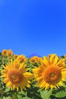 花の都公園のヒマワリと富士山 11076025240| 写真素材・ストックフォト・画像・イラスト素材|アマナイメージズ