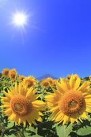 花の都公園のヒマワリと富士山 太陽と光芒 11076025242| 写真素材・ストックフォト・画像・イラスト素材|アマナイメージズ