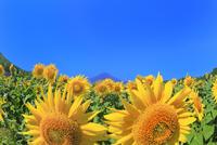 花の都公園のヒマワリと富士山 11076025244| 写真素材・ストックフォト・画像・イラスト素材|アマナイメージズ