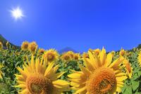 花の都公園のヒマワリと富士山に太陽 11076025245| 写真素材・ストックフォト・画像・イラスト素材|アマナイメージズ