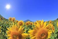 花の都公園のヒマワリと富士山 太陽と光芒 11076025246| 写真素材・ストックフォト・画像・イラスト素材|アマナイメージズ