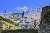 宇和島城とサクラ