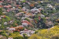 屋島の山桜