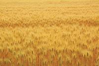 実る大麦の穂