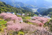 桑田山の雪割り桜